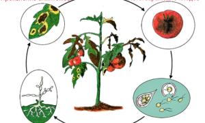 Соль от фитофторы на помидорах: друг или враг?