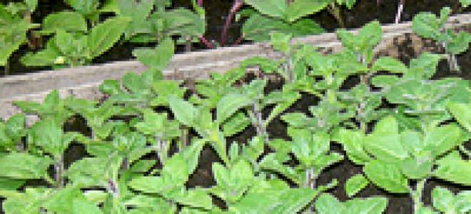 Осеннее размножение петунии черенками: проводим правильно