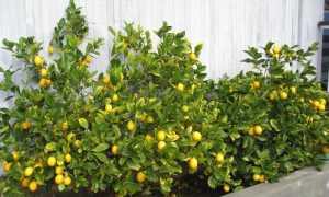 Где и как растут лимоны в открытом грунте и в домашних условиях