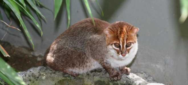 Суматранская кошка: прелестный зверёк из лесов Индонезии