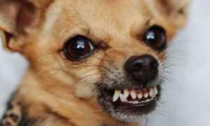 Почему собака смотрит в пустоту и рычит