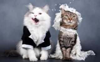 Кошачья любовь от А до Я: правила вязки домашних любимцев